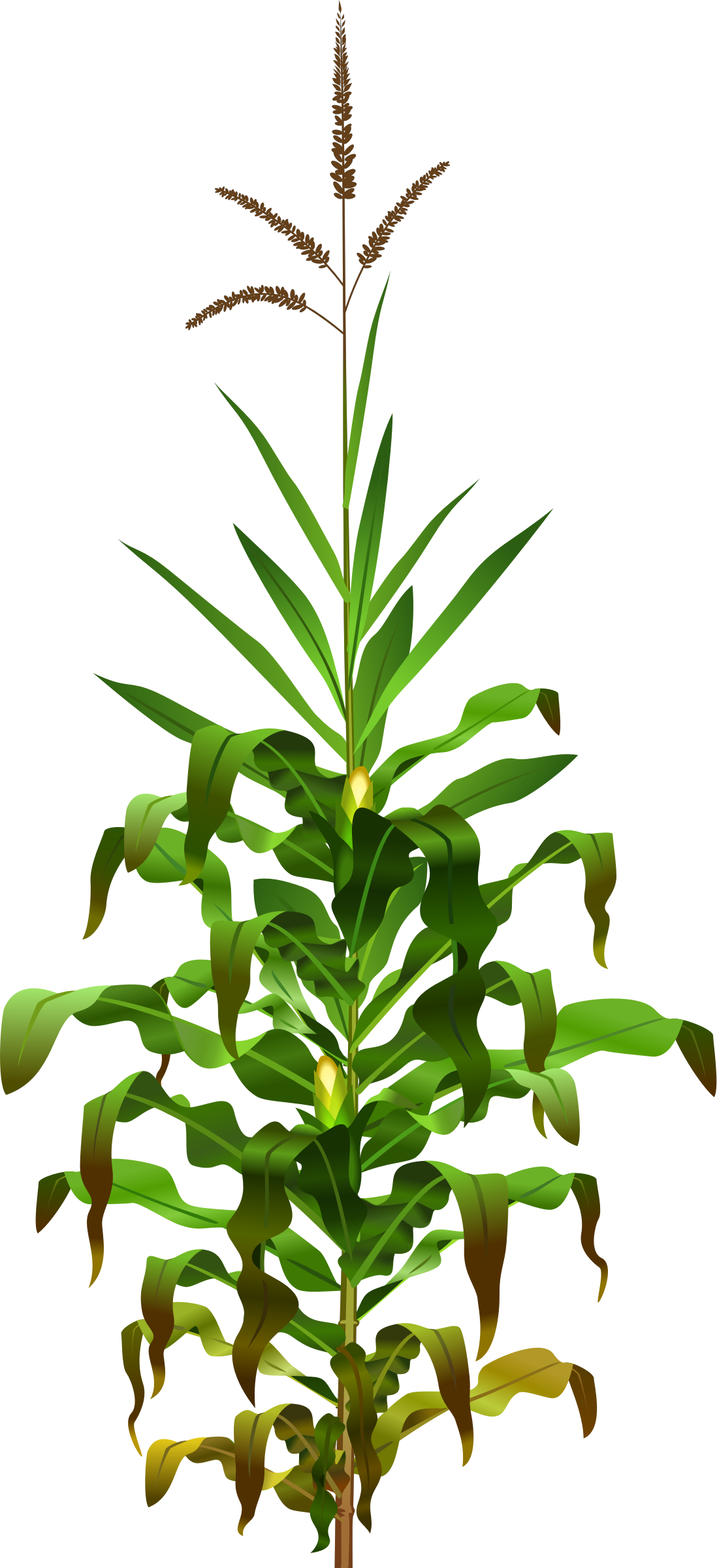 png royalty free library Jowar plant png transparent. Rice vector nelkathir