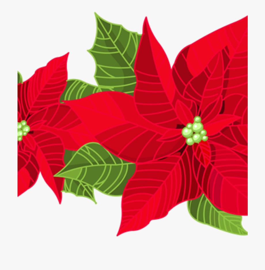 picture transparent Red poinsettia flower . Poinsettias clipart.