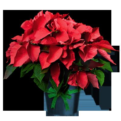 clip art library download Poinsettia in Pot