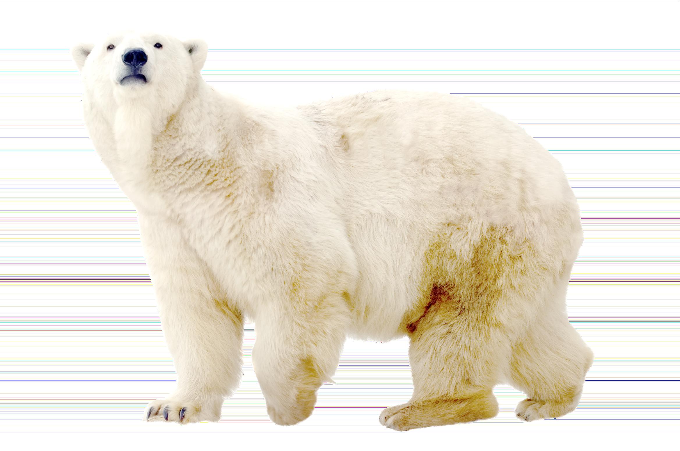 jpg royalty free library Polar bear clipart free. Double exposure effect pixelmator