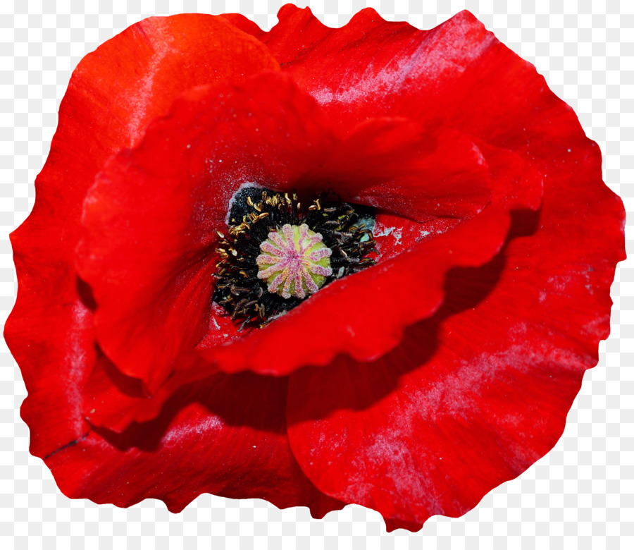 jpg library download Remembrance day flower red. Poppy clipart