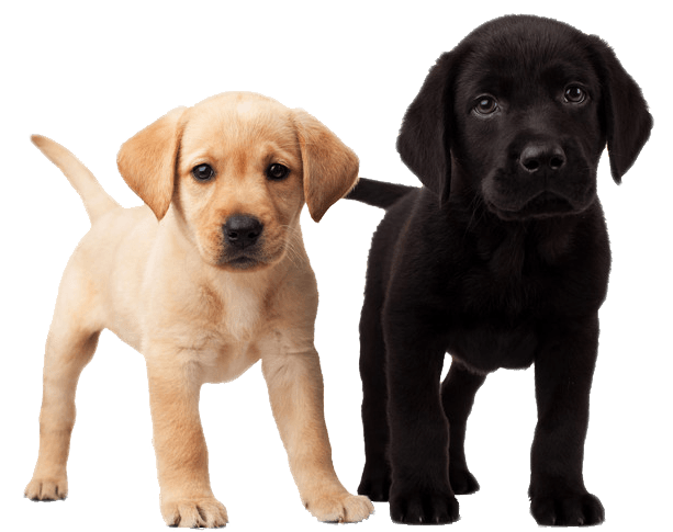 image transparent stock Cute Puppies transparent PNG