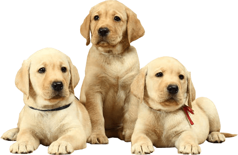 banner royalty free Labrador Puppies png background