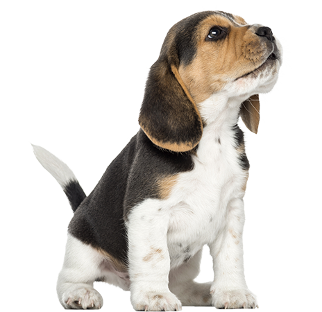 clip free puppy transparent beagle #101848564