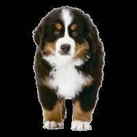 clip puppies transparent bernese mountain dog #101833295