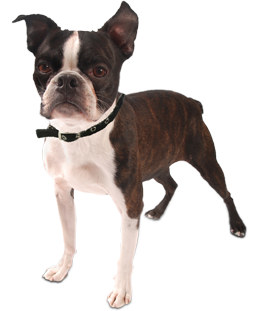 clip art transparent library Boston Terrier Puppies