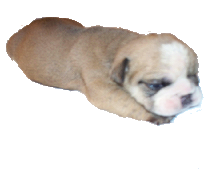 png royalty free download English Bulldog Puppies For Sale in Southern California