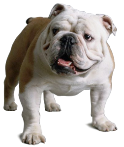 picture transparent stock The best online resources. Puppy transparent english bulldog