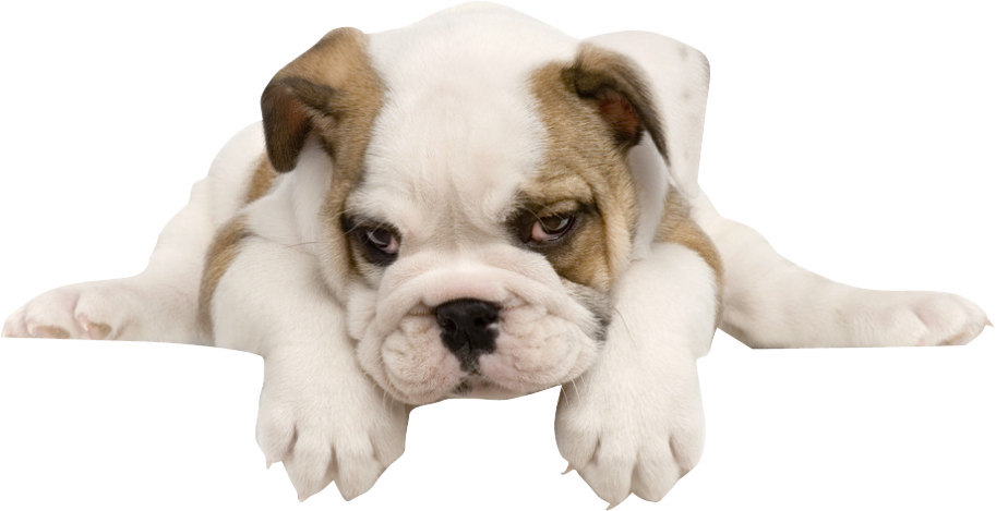 clip art free library French toy american tummy. Puppy transparent english bulldog