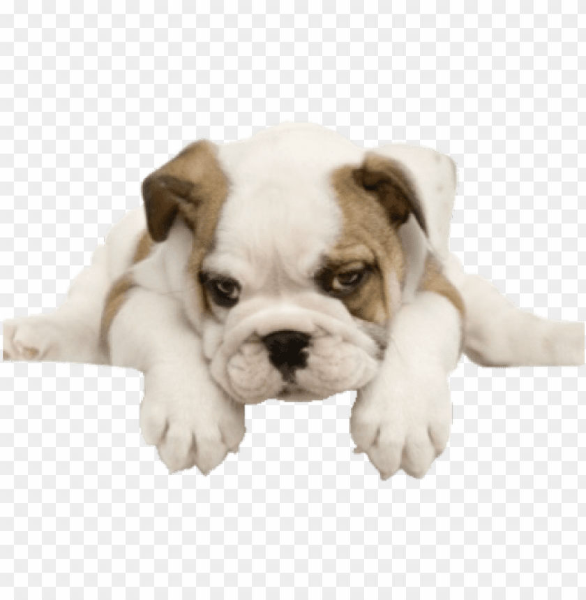 picture free stock Puppies png image with. Puppy transparent english bulldog