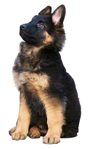 picture transparent German Shepherd Puppy transparent background