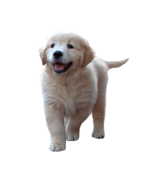 svg transparent download Golden Retriever PNG Transparent Golden Retriever