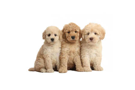 clip art free Golden Doodle Puppies