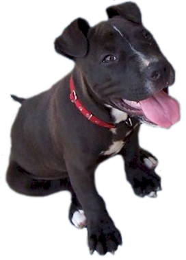svg black and white download PNG Pitbull Transparent Pitbull