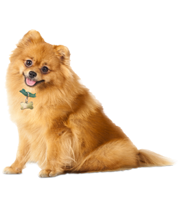 graphic royalty free Pomeranian Puppies