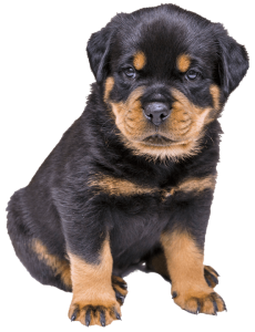 graphic free stock Owning a Rottweiler