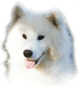 graphic free stock Sanorka Samoyeds