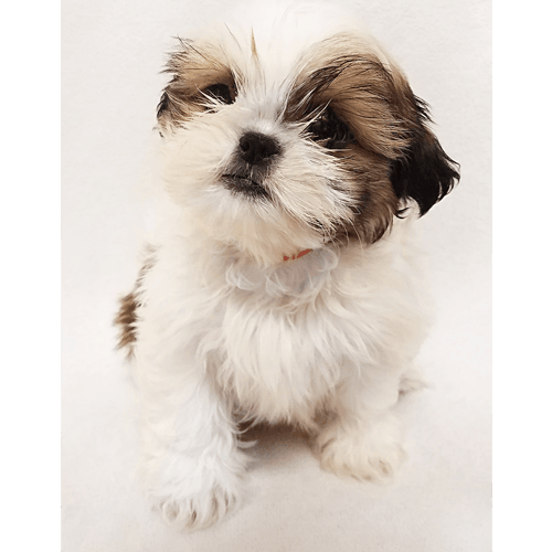 vector Shih Tzu Puppies for Sale in NY