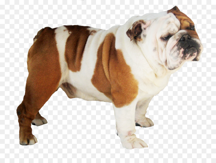 graphic freeuse library Background clipart dog . Puppy transparent english bulldog