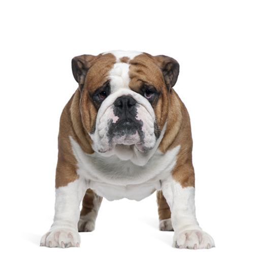 banner transparent download Puppy transparent english bulldog. Our dams sires elite