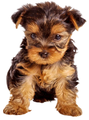 png download of course i want a teacup yorkie