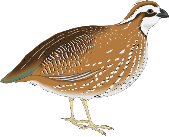 graphic transparent library Quail clipart. Outline free on dumielauxepices.