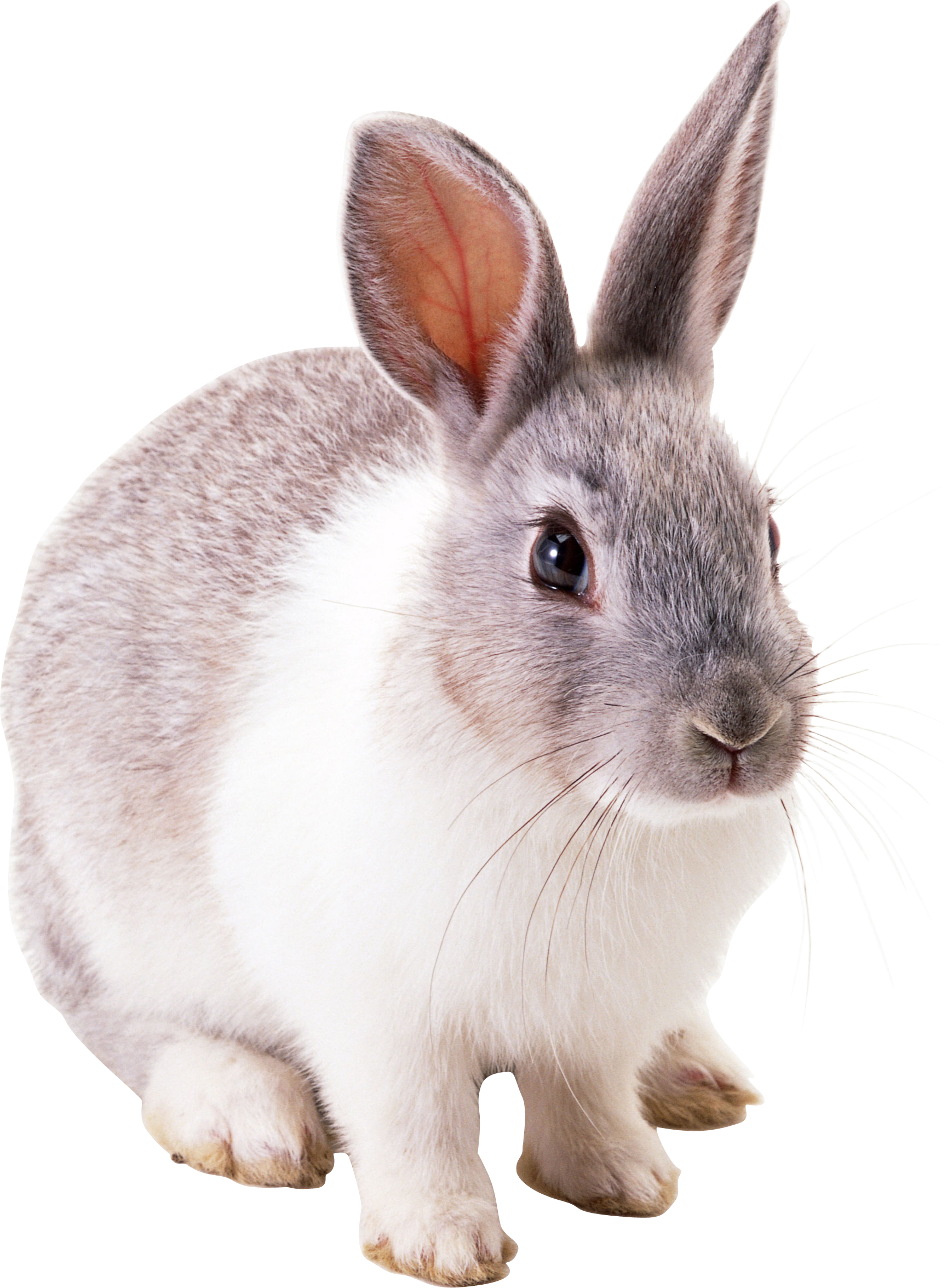 png freeuse download Bunnies clipart wild rabbit.  cute easter bunny.