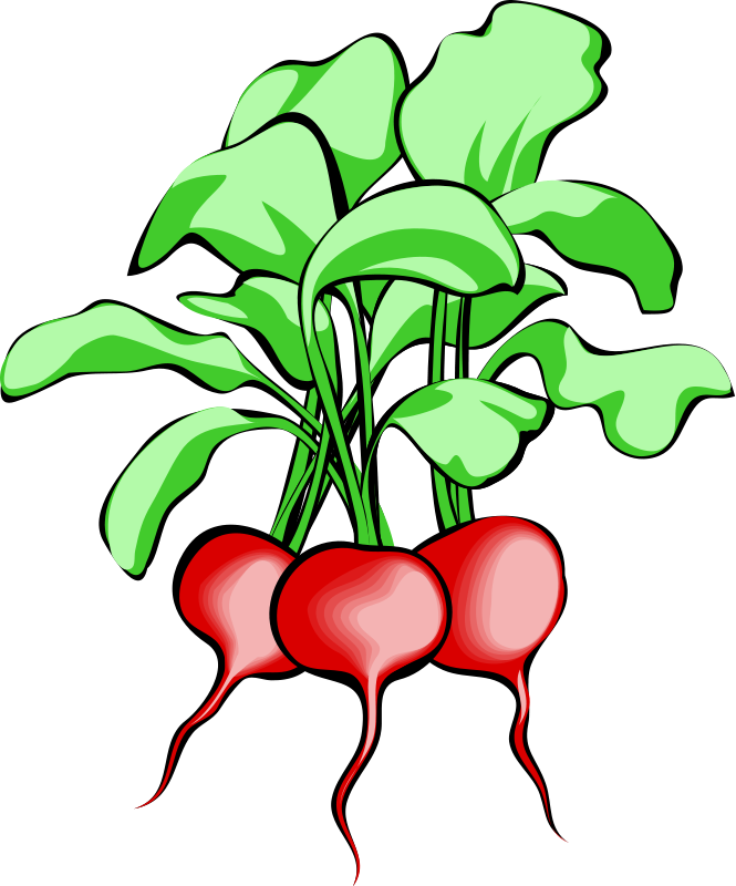 picture Radish Clipart leafy vegetable