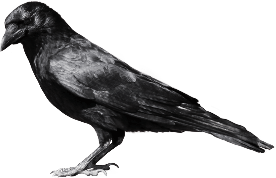 png royalty free download Transparent crow. Black sideview png stickpng