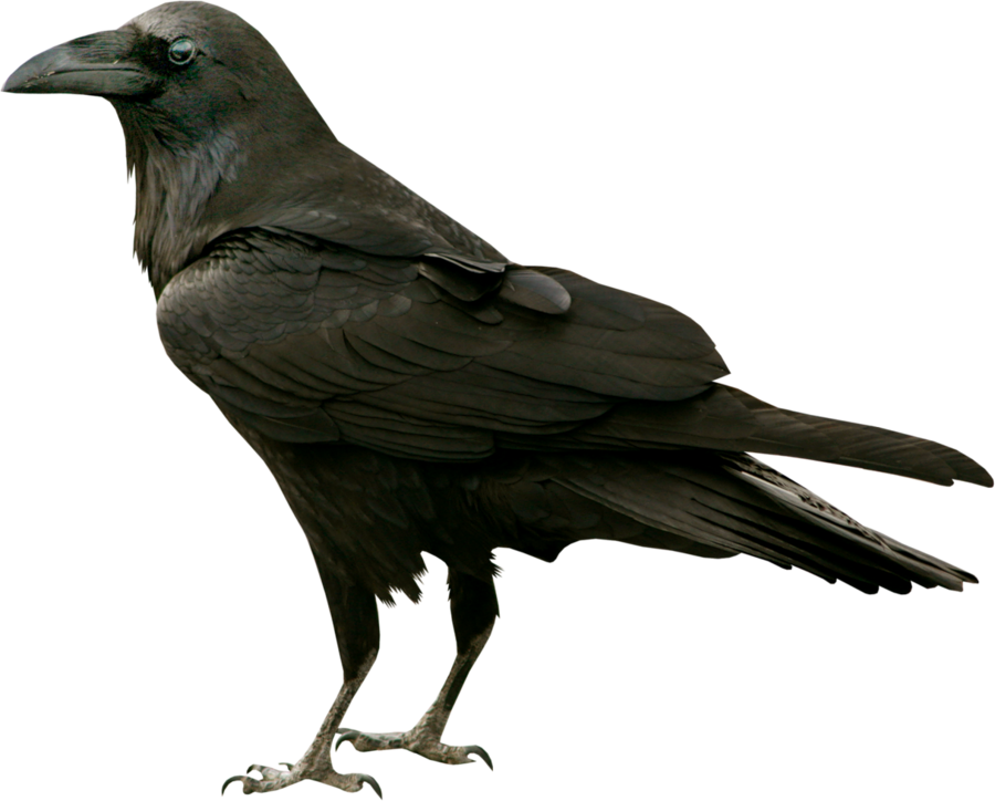 free download Transparent crow raven. Black on a background