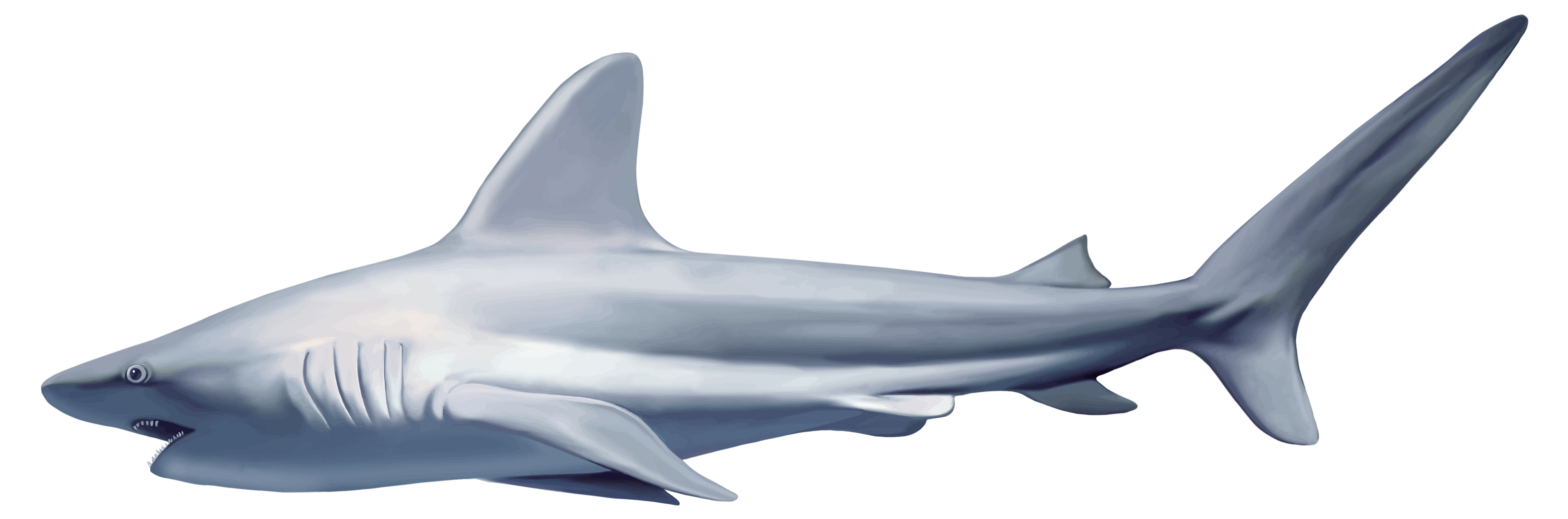 clip free download Realistic clipart. Shark png best web.