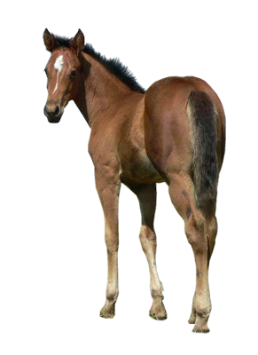 vector transparent stock Realistic clipart horse. Free on dumielauxepices net