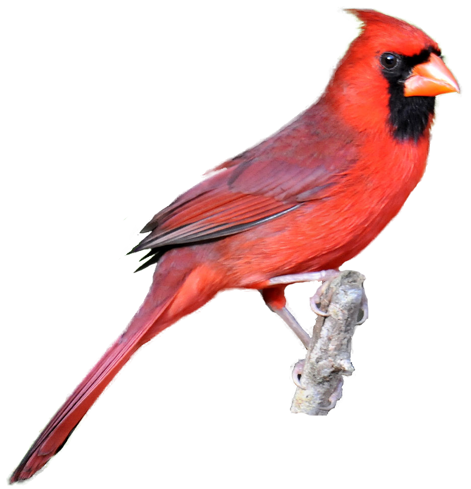 svg library library Realistic clipart. Birds cliparts free download
