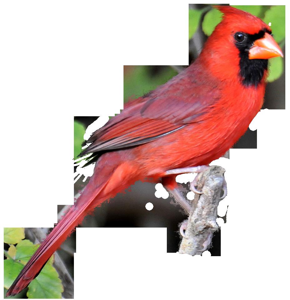 clip art freeuse download Realistic Birds Cliparts Free Download Clip Art