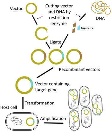 clip library Recombinant vector. Dna technology an overview