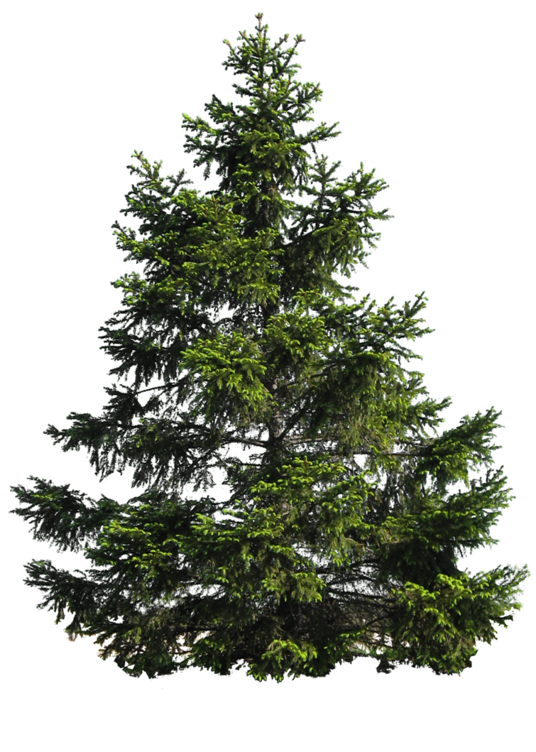 banner freeuse library PINE TREE PNG by Moonglowlilly on deviantART