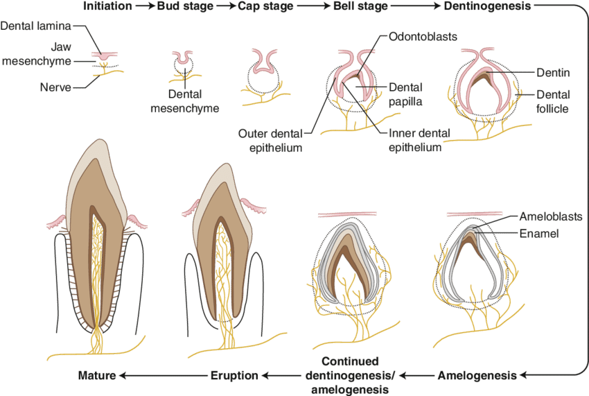 image royalty free stock Drawing tooth diagram. This schematic shows the