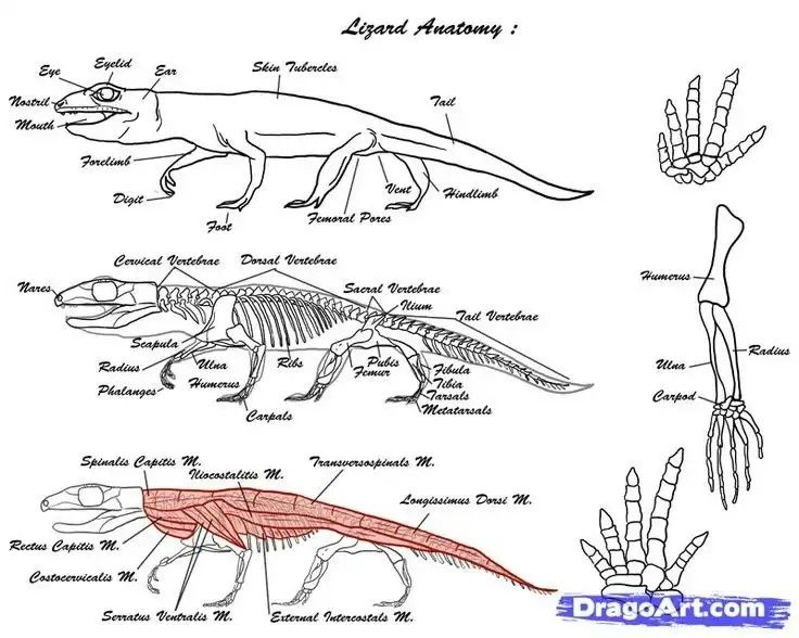 clip art library library Monitor lizard anatomy in