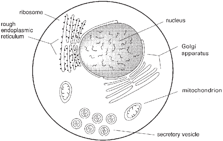 clip art stock Ribosome drawing. Schematic of some the