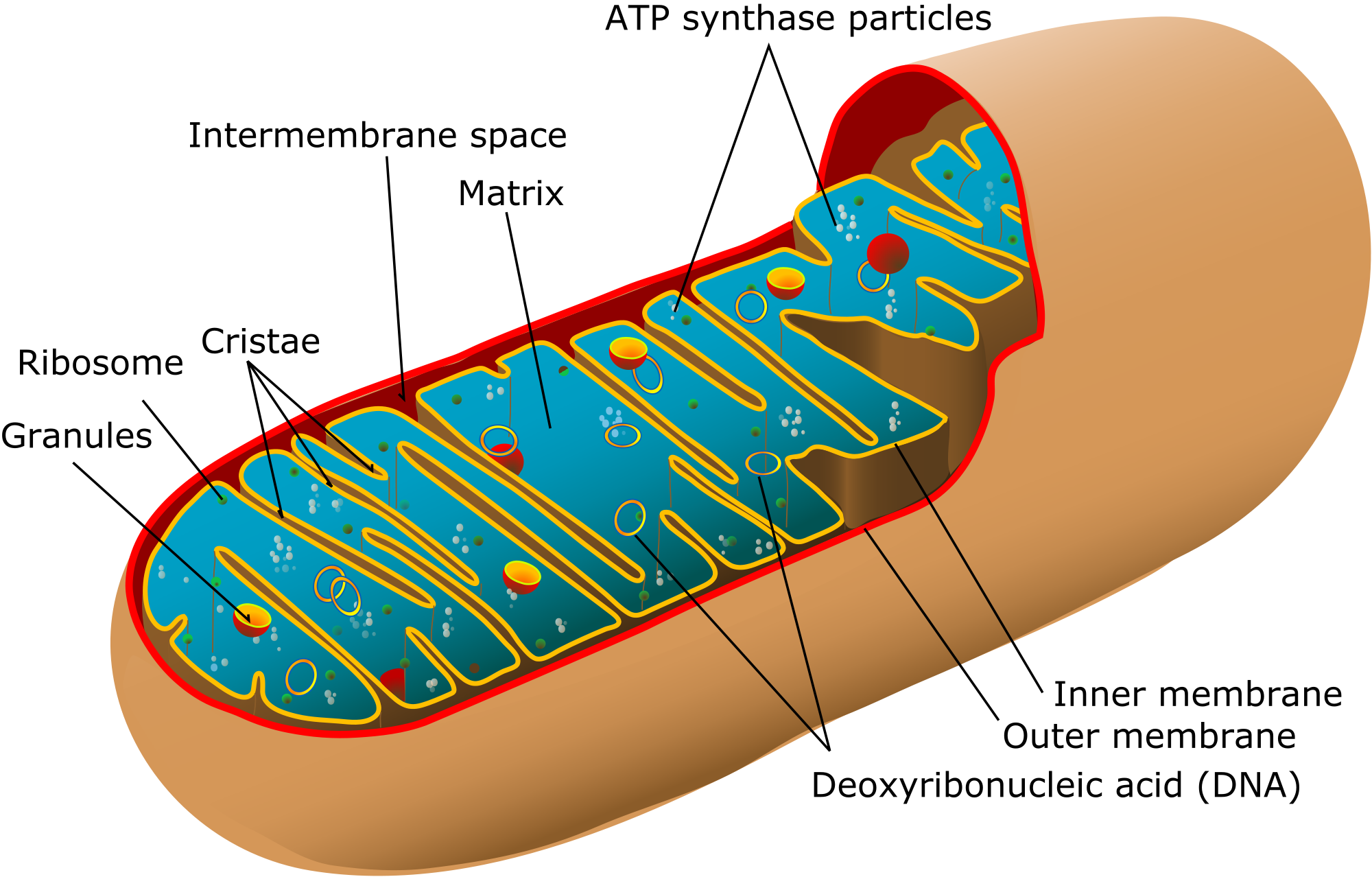 picture royalty free download Mitochondria structure function teachmephys. Ribosome drawing