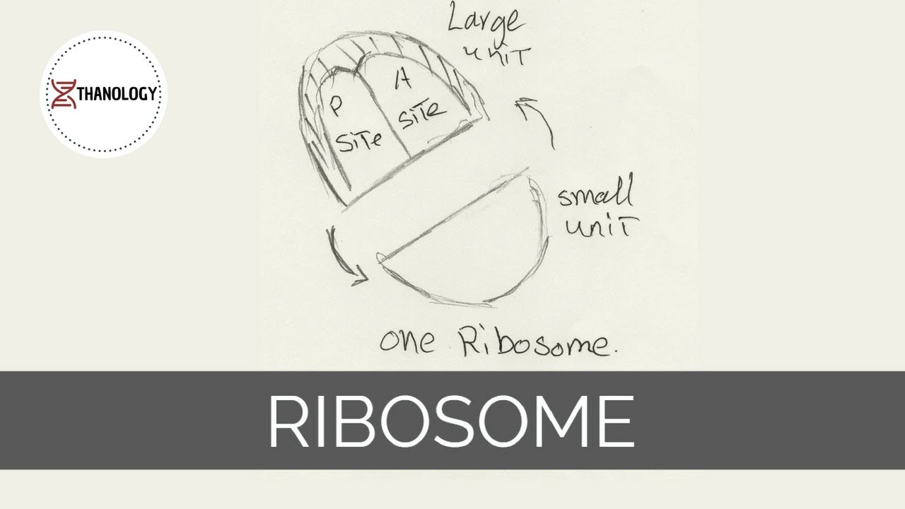 clip art free library Ribosome drawing. How to draw the