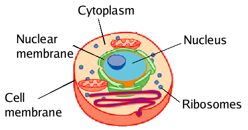 clipart royalty free library Ribosomes definition structure size. Ribosome drawing