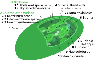 clipart freeuse library Chloroplast membrane