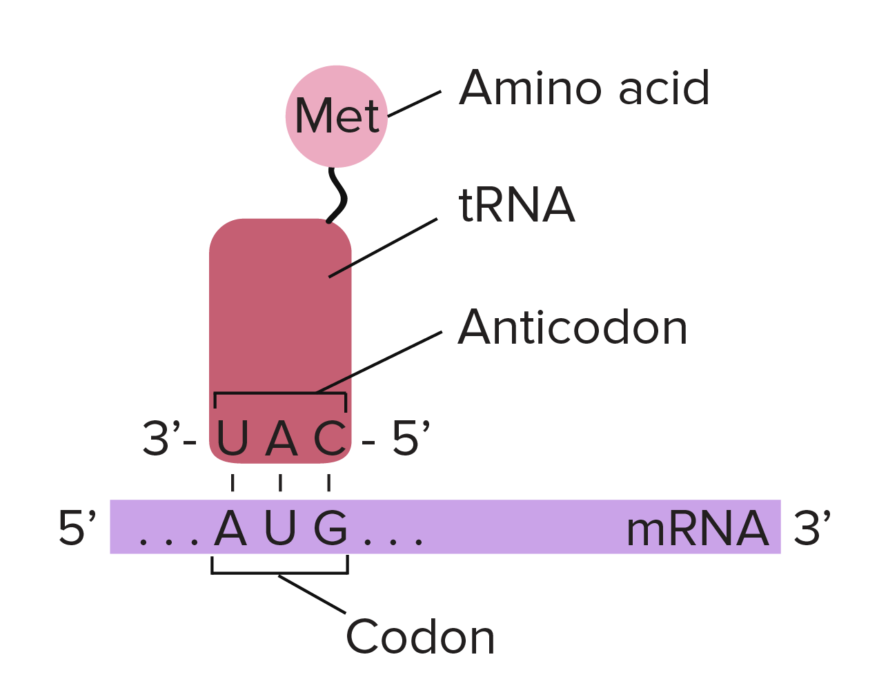 jpg transparent library Central dogma