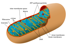 image freeuse download ribosome drawing cytosol #102283136