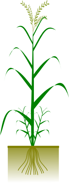 picture freeuse download Cereal Plant Clip Art at Clker