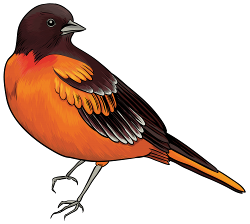 freeuse library Robin Bird Clipart at GetDrawings