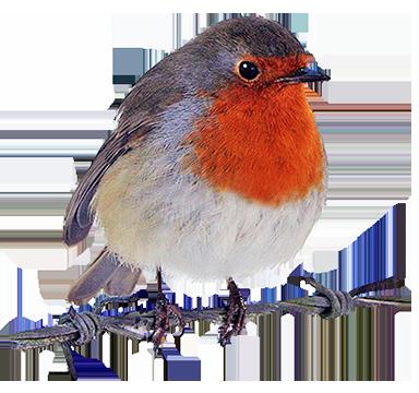 vector transparent robin clipart