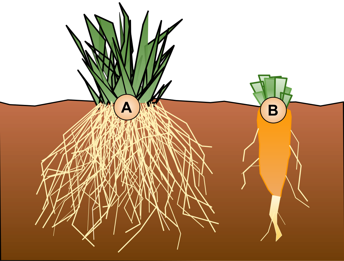 png freeuse library Beet drawing potato root. Taproot wikipedia