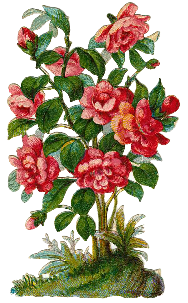vector freeuse library Rose Bush Plant Clipart